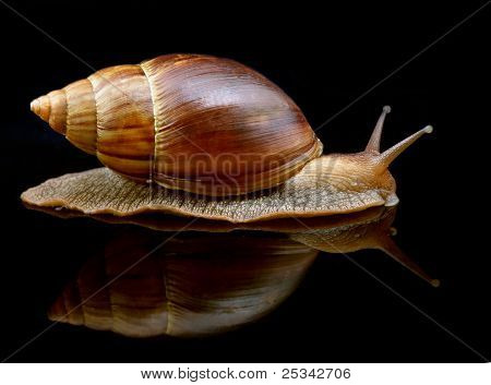 Big snail move forward with mirror