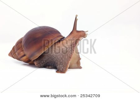 big snail look forward isolated on white