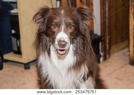 poster of Border Collie Dog Outdoor Living In Belgium