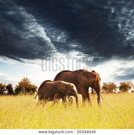 Elephants in african savannah