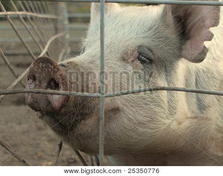 Huge pink sow