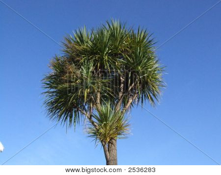 Cabbage Tree Against A Blue Sky