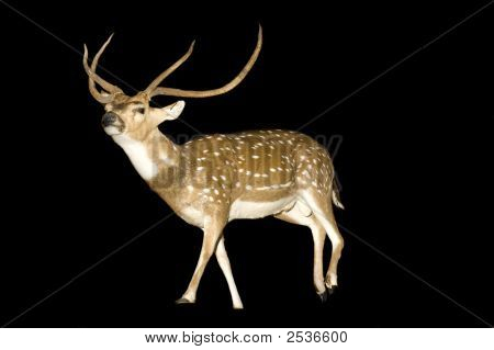 Chital Stag Or Buck