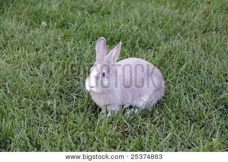 rabbit with blue eyes