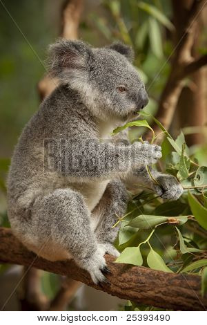 Baby Koala Eating_02