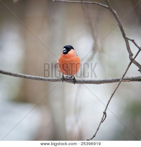 Pyrrhula Pyrrhula, Bullfinch, Male.