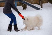 A Pedigree Dog Of A White-colored Samoyed Dog Plays With A Ring And A Man In Winter On Snow poster