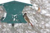 Постер, плакат: Фидер птицы в шторм снега