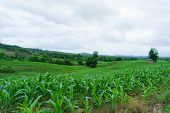 Corn In The Rainy Season.agriculture In The Rainy Season And Corn In The Farm. poster