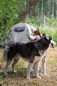 Two Dogs On The Background Green Tent In Forest Camp. Siberian Husky Dogs Stand Side By Side And Loo poster