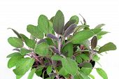 picture of purple sage  - Close up detailed view of a purple sage plant slanted towards viewer - JPG