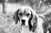 Dog With Long Ears On Summer Outdoor. Beagle Walk On Fresh Air. Cute Pet On Sunny Day. Companion Or  poster