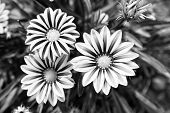 Gerbera Blossom On Blurred Natural Background. Gerbera Flowers In Summer Garden. Blossoming Flowers  poster