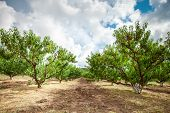 Peach Tree With Fruits Growing In The Garden. Peach Orchard. poster