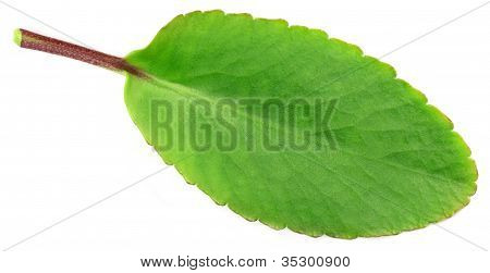 Medicinal Kalanchoe or Patharkuchi leaf