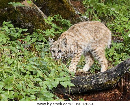 Bobcat Ready to Pounce