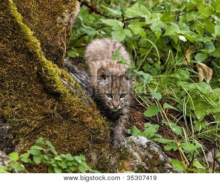 Bobcat Kitten Stalking Prey