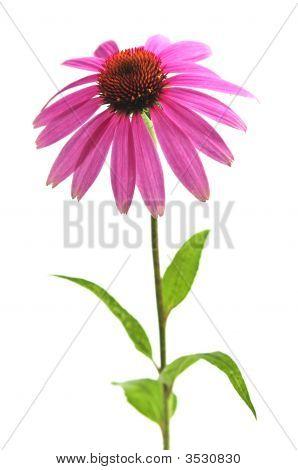 Echinacea Purpurea Plant