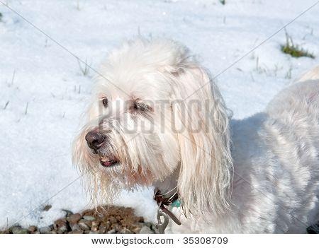 Branco Coton De Tulear cão fora na neve
