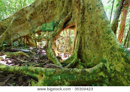 Fig Tree Roots British Virgin Islands