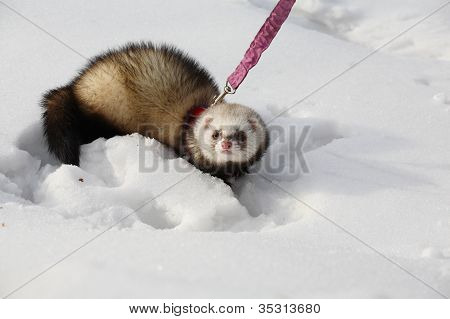 manual polecat walks in winter park on a lead