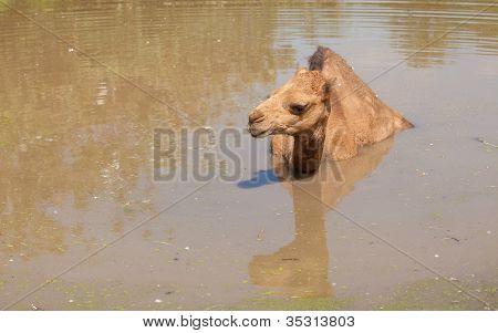 Alone Camel