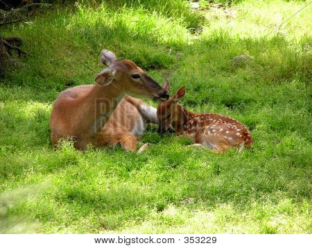 Deer And Mother