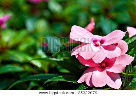 Background - Impatiens Flower