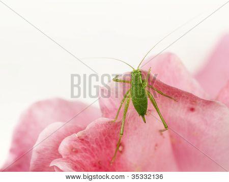 Crickets - Gryllidae
