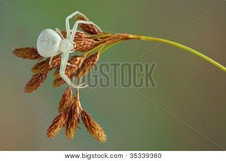 Crab Spider Waiting