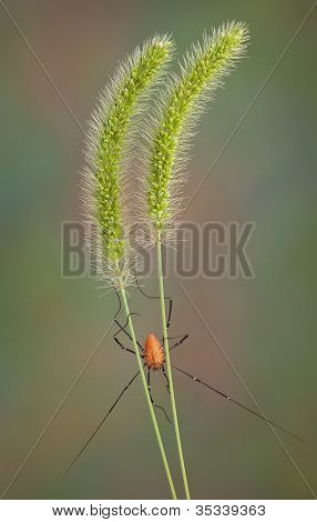 Daddy Long Legs On Foxtail