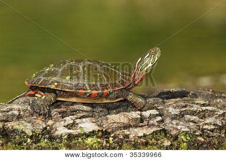 Midland Painted Turtle Basking on a Log
