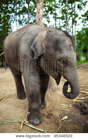 Baby elephants playing and eating corns of the ground.