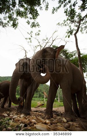 Elephant family group play and eat together