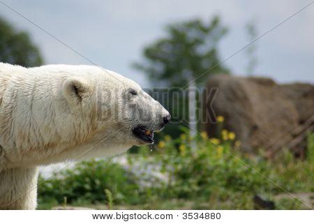 Polarbear 1