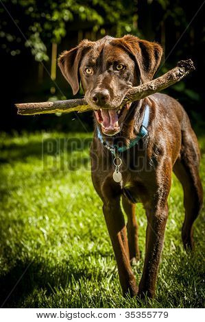 Dog With Wood Stick