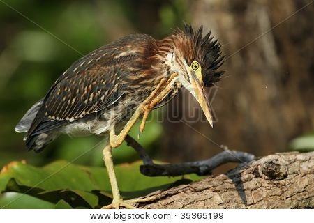 Young Green Heron Scratching its Head