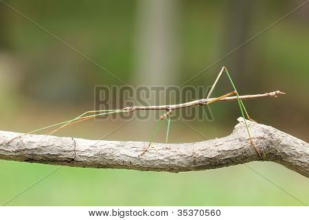 Northern Walking Stick on a Tree Branch