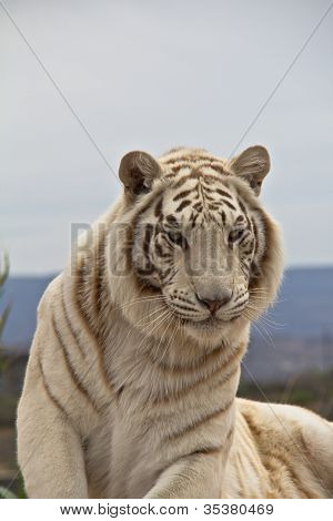 Closeup Of Siberian Tiger Head And Chest