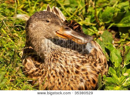 Female Northern Shoveler Duck In Grass Anas Clypeata