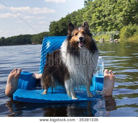 Shetland Sheepdog Standing On Floating Chair In Lake, With Human Feet Sticking Up At Side