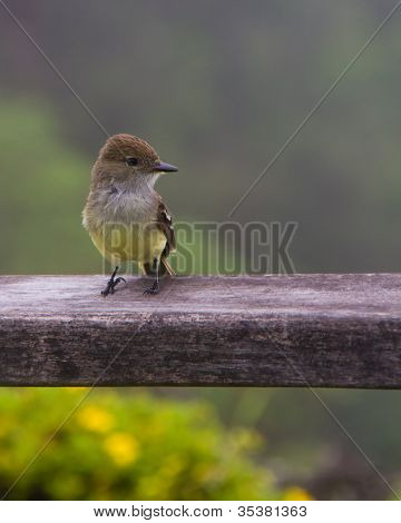 Darwin Finch Standing On Wooden Railing