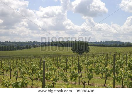 Vineyard At Dorking. Surrey. England