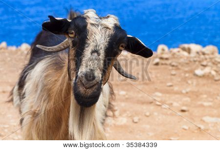 Goat staring at the camera