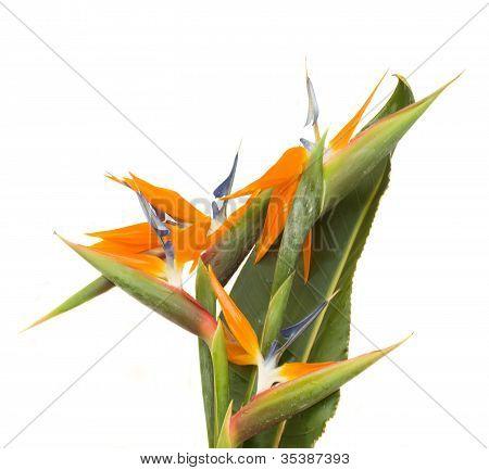 bouquet o strelitzia flowers