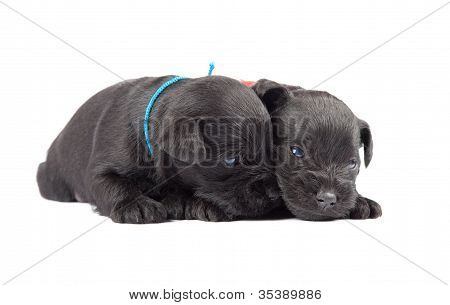 Two Black Puppys Of Miniature Schnauzer