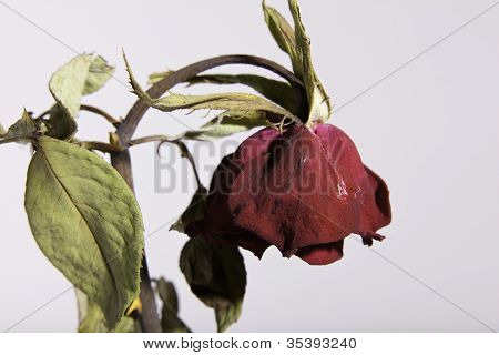 Sad Dead Or Wilting Red Rose On White