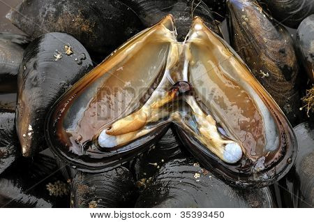 Bay Mussels