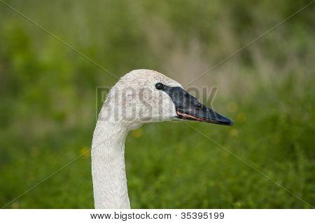 Trumpeter Swan Closeup