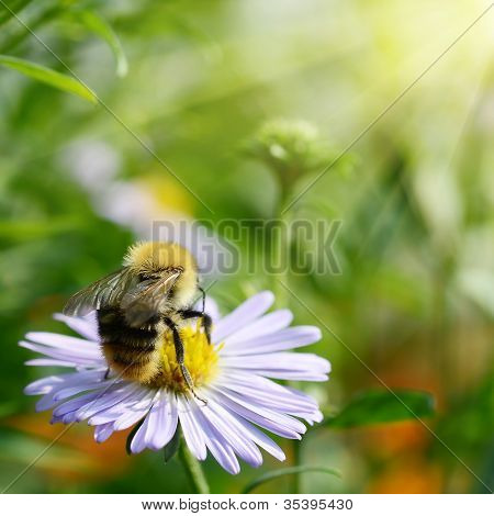 Bee On Chamomile Collecting Nectar Or Honey
